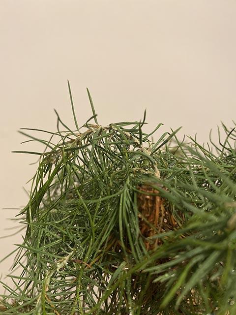 Ayuda pino blanco mustio Img_3216