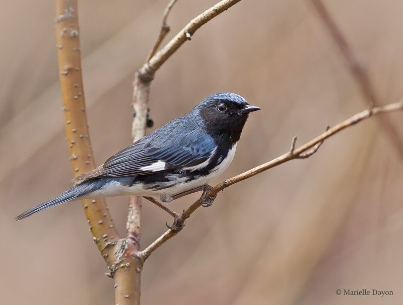 Paruline bleue  Img_5011