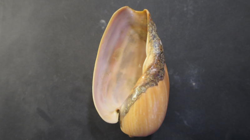 [résolu]Cymbium olla (Linné, 1758) Img_2119