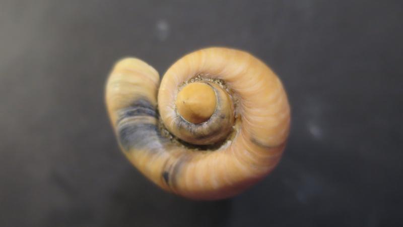 [résolu]Cymbium olla (Linné, 1758) Img_2120