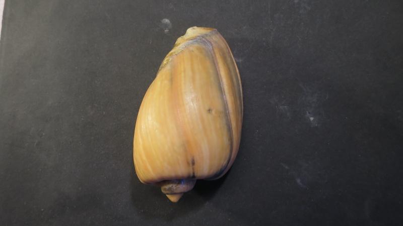 [résolu]Cymbium olla (Linné, 1758) Img_2123