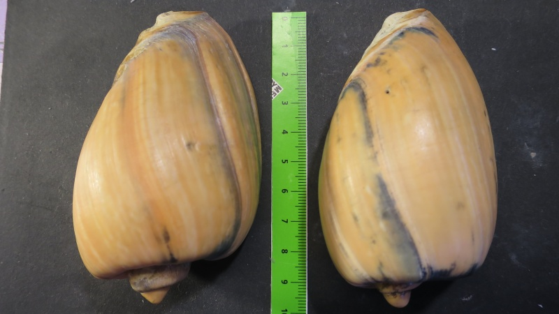 [résolu]Cymbium olla (Linné, 1758) Img_2124