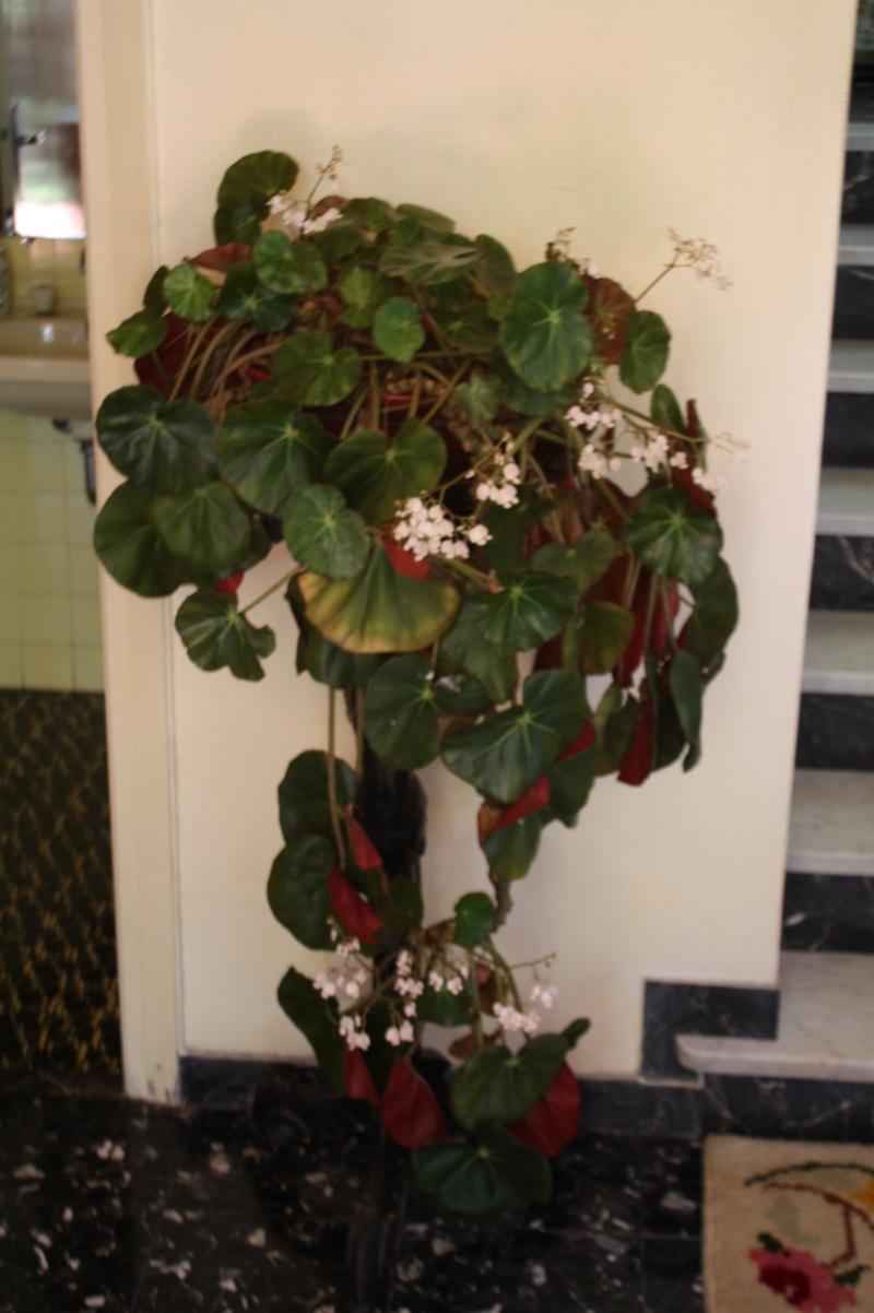 Begonia x erythrophylla Begoni10