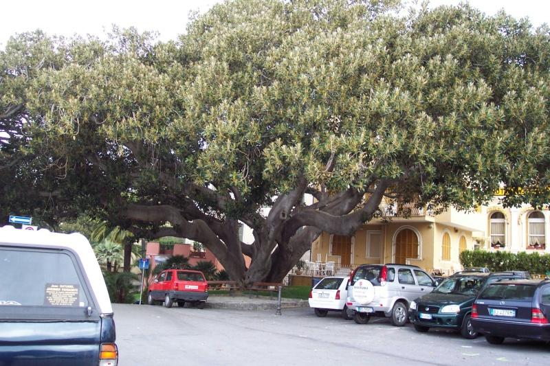 Ficus elastica - caoutchouc Bordig12