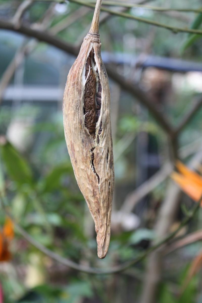 Brugmansia - le genre Brugma12