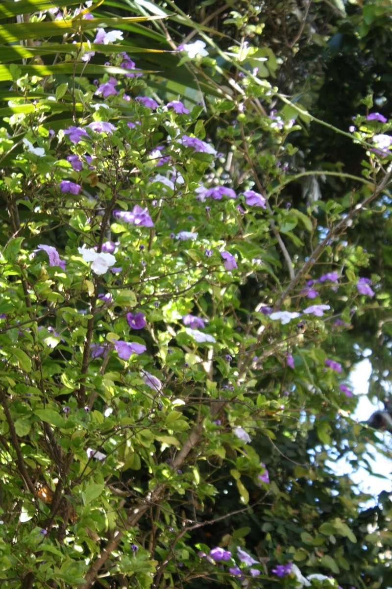 Brunfelsia pauciflora Brunfe10