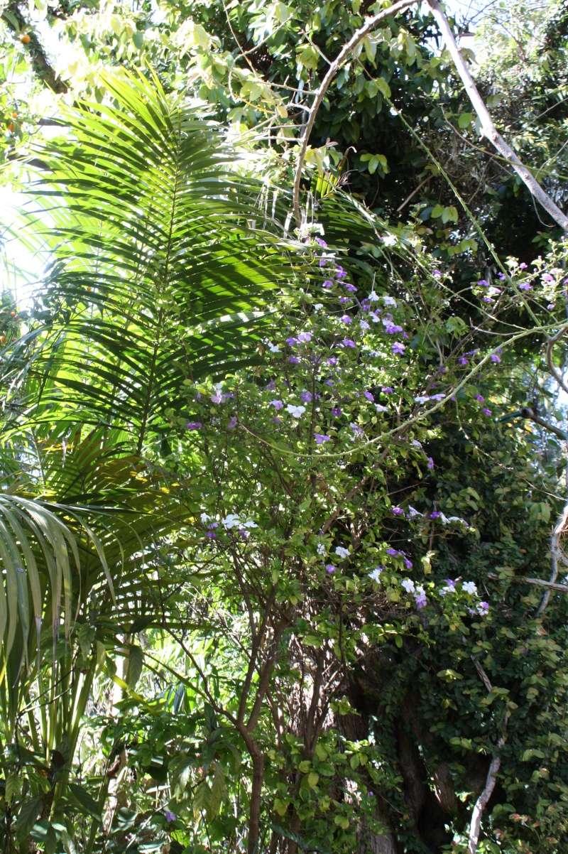 Brunfelsia pauciflora Brunfe11