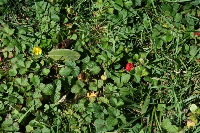 Recherche de plante couvre-sol Duches10