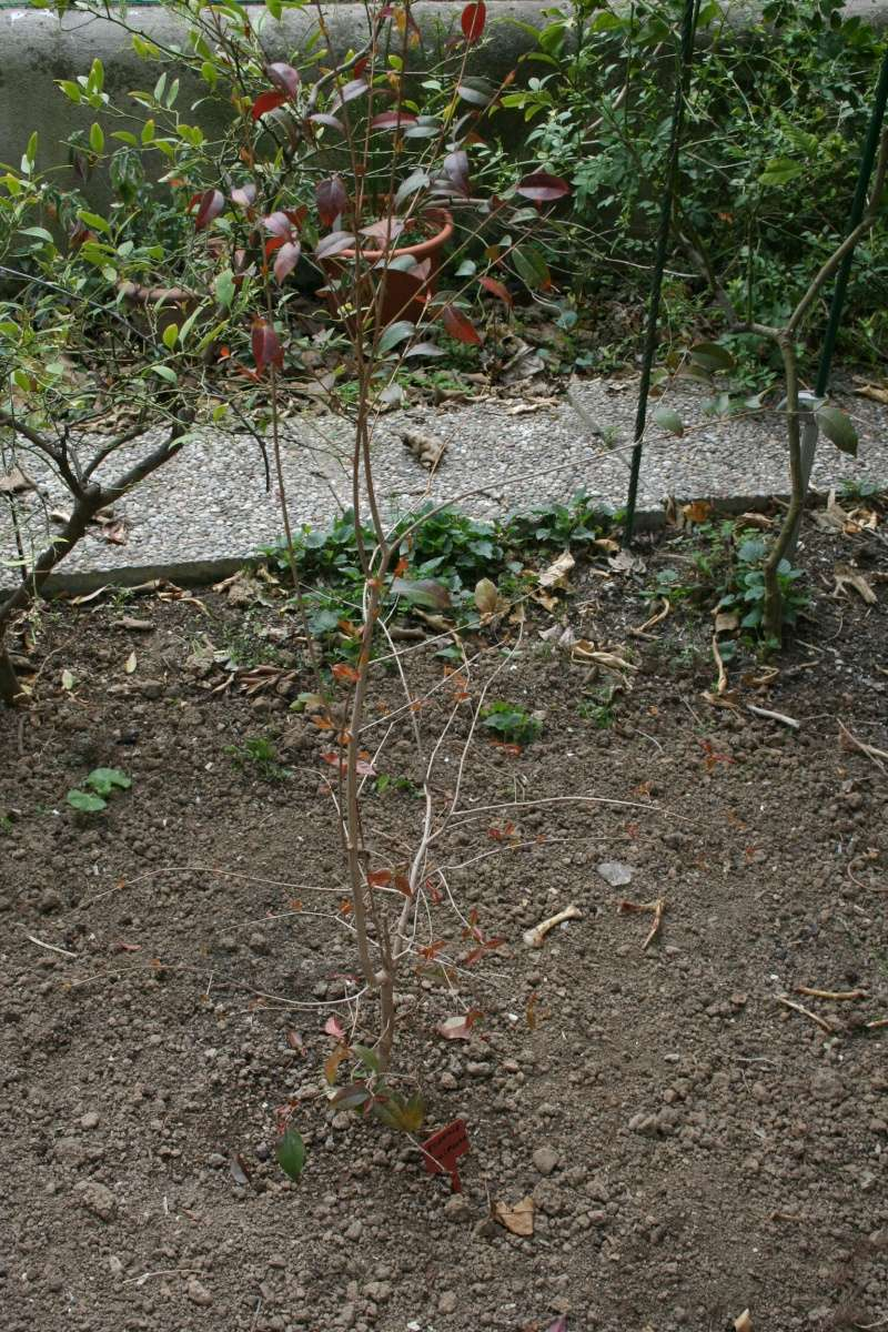 Eugenia uniflora - cerisier de Cayenne Eugeni11