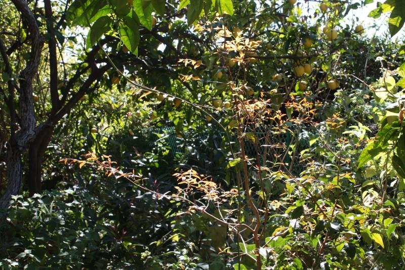 Eugenia uniflora - cerisier de Cayenne Eugeni12