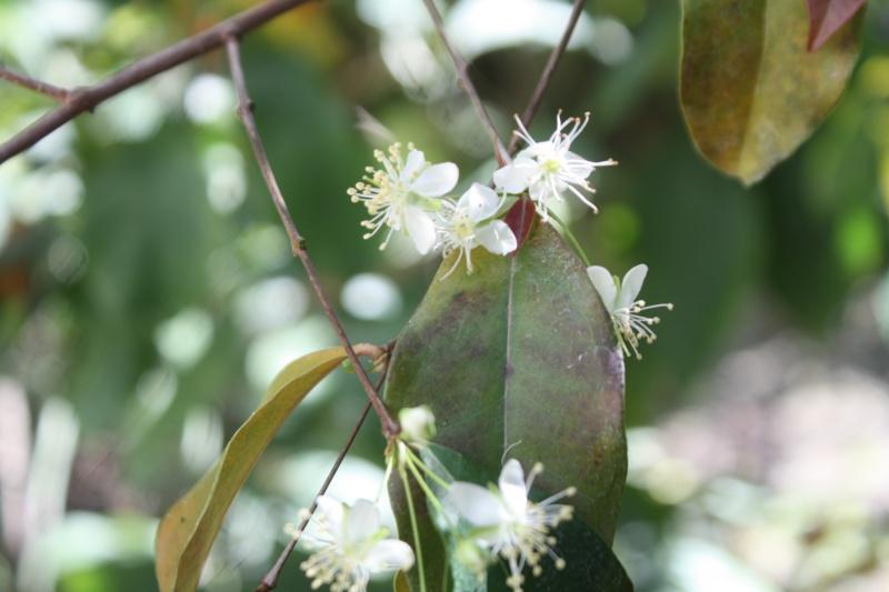 Eugenia uniflora - cerisier de Cayenne Eugeni13