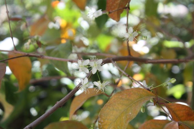 Eugenia uniflora - cerisier de Cayenne Eugeni14