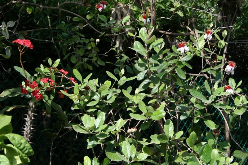 petite plante - Euphorbia milii  Euphor10