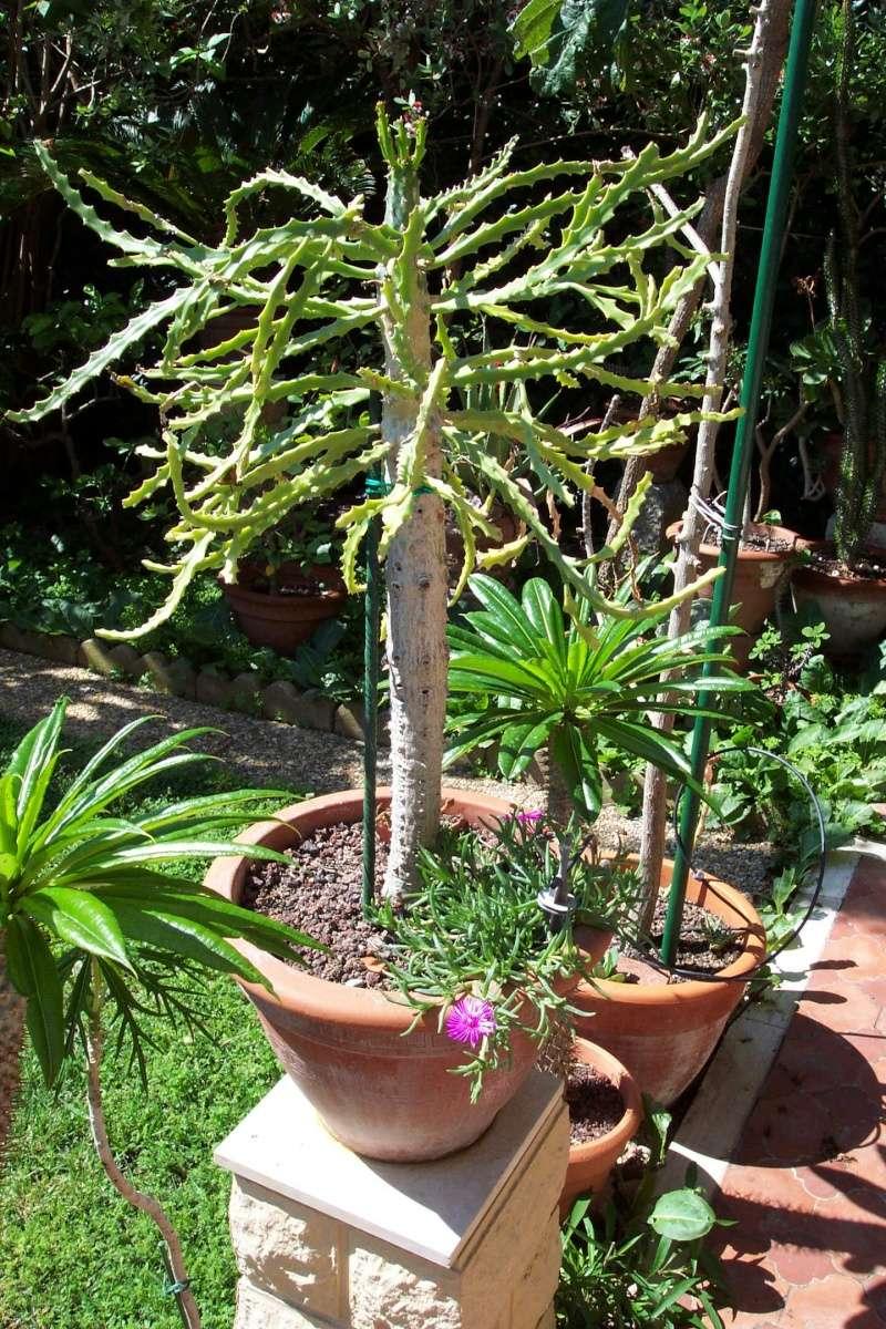 Euphorbia sp. [identification non terminée] Euphor11