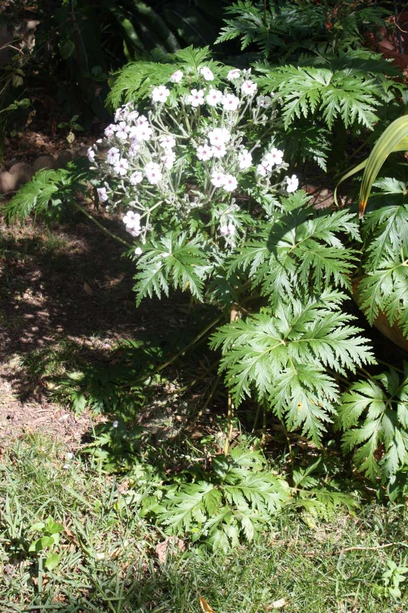 Geranium maderense - géranium de Madère - Page 2 Gerani10