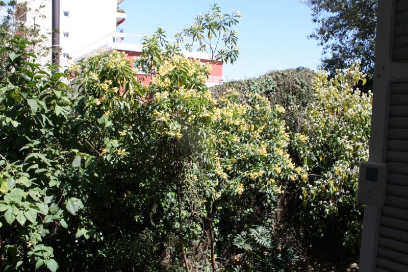 Hymenosporum flavum - frangipanier australien Hymeno10