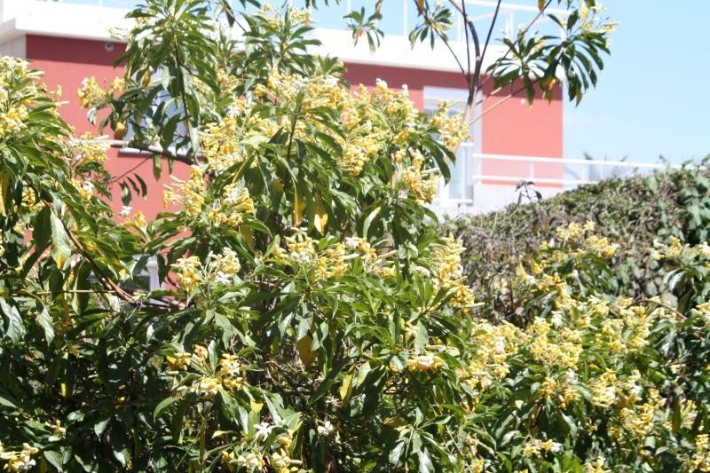 Hymenosporum flavum - frangipanier australien Hymeno11