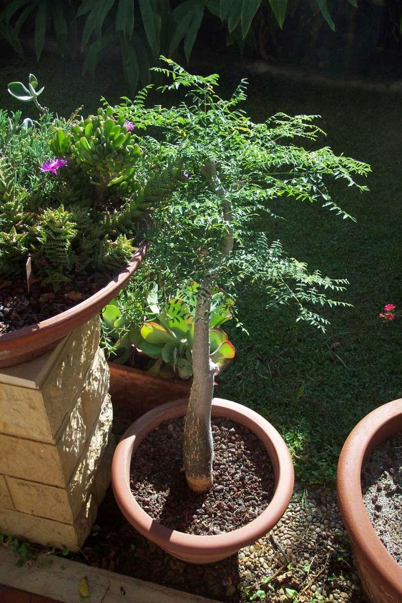 Moringa oleifera Moring10