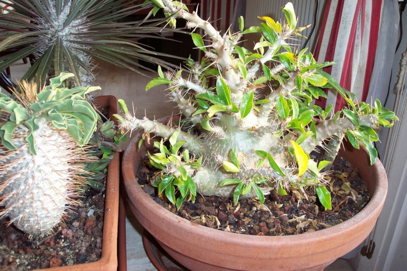 Identification d'une plante svp -Pachypodium saundersii- Pachyp10