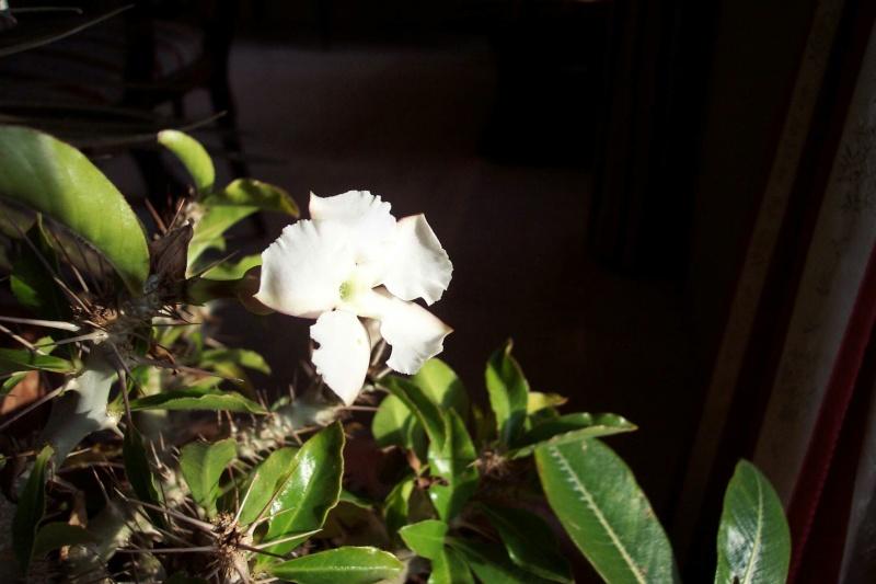 Identification d'une plante svp -Pachypodium saundersii- Pachyp11