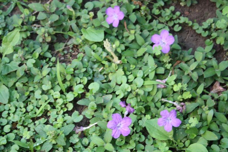 Recherche de plante couvre-sol Ruelli10