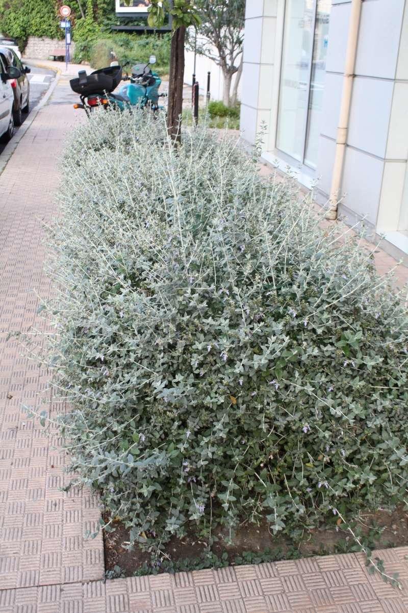 Teucrium fruticans - germandrée arbustive Teucri12