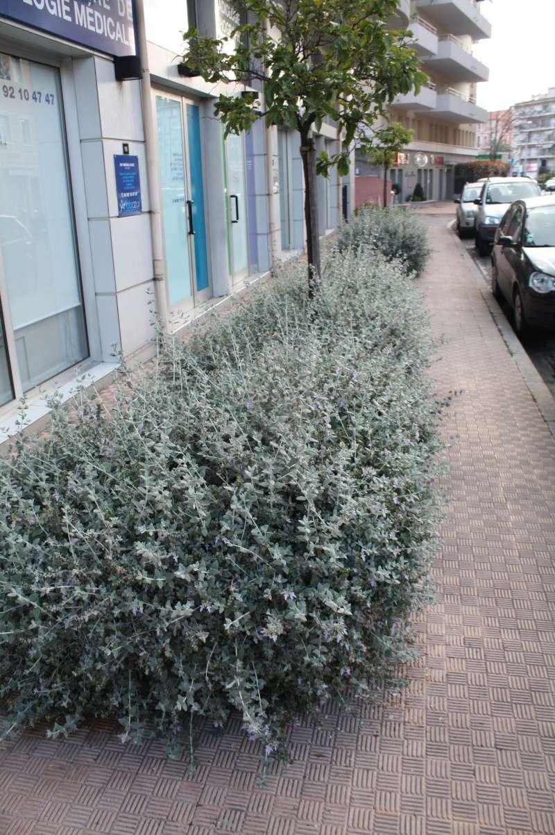 Teucrium fruticans - germandrée arbustive Teucri13
