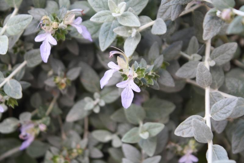 Teucrium fruticans - germandrée arbustive Teucri14