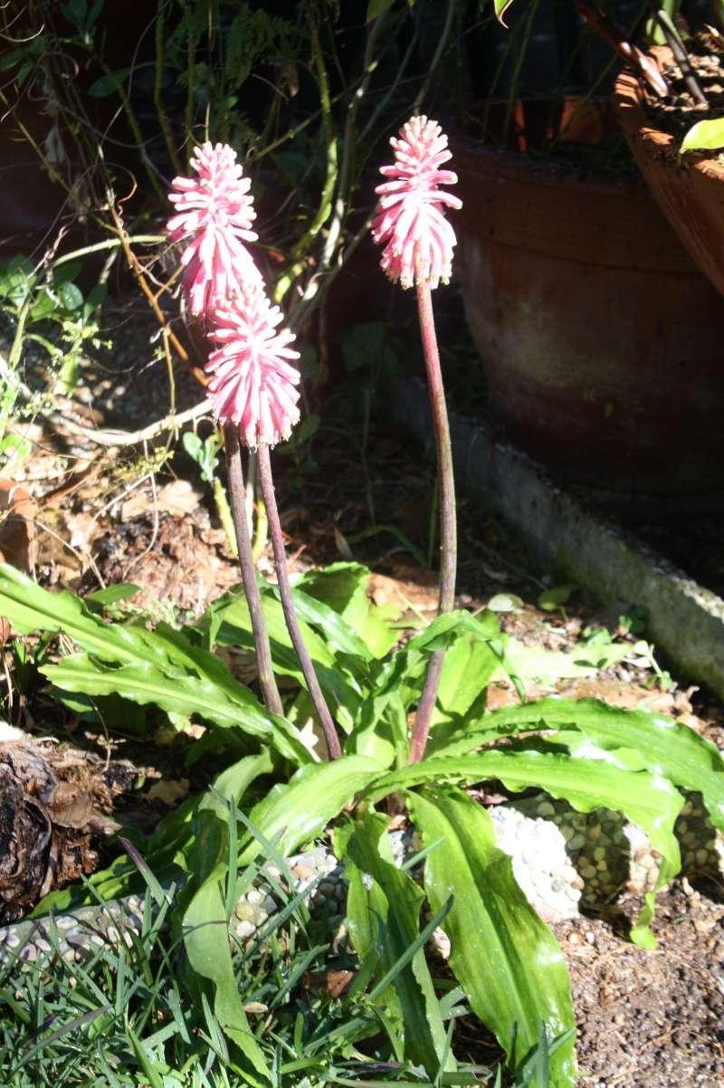Veltheimia bracteata Velthe12