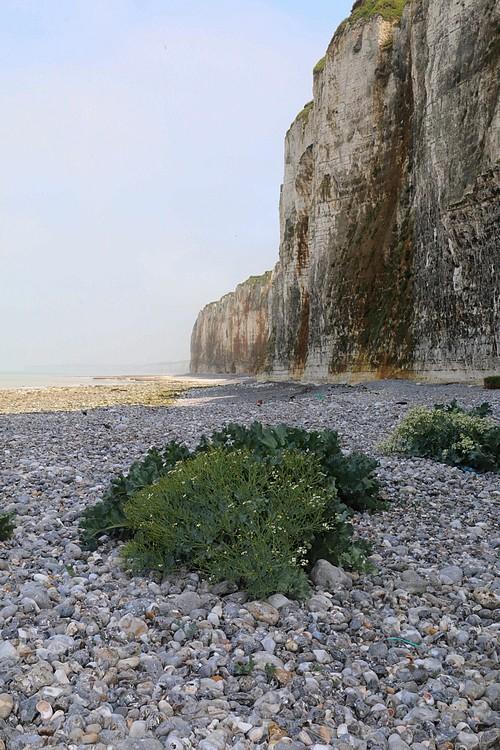 En Normandie on est près de nos choux Crambe11