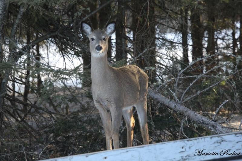 ce matin, cerf de Virginie et lièvre Img_0610