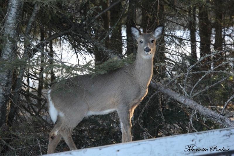 ce matin, cerf de Virginie et lièvre Img_0611