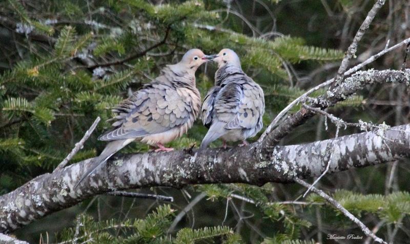 Petit couple de Tourterelles tristes, trop cute! Img_0813