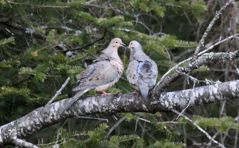 Petit couple de Tourterelles tristes, trop cute! Img_0815