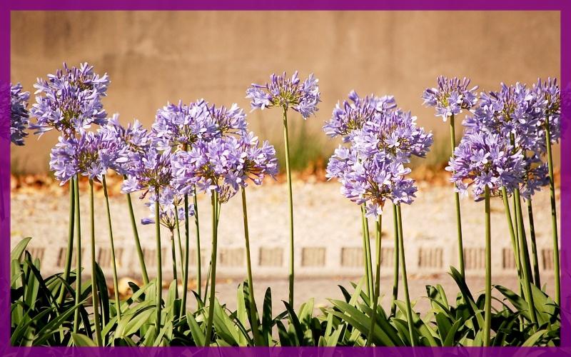 fleurs en vrac! Agapmo10