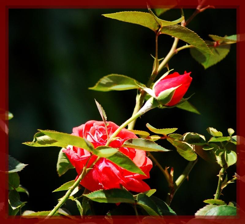 fleurs en vrac! Roses_10