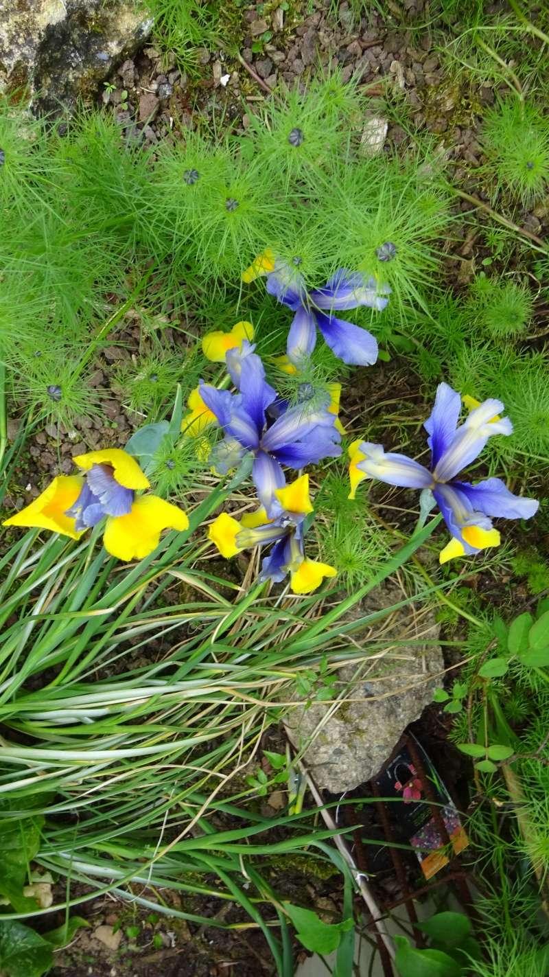 Un iris de hollande bien équipé ! Dsc02620