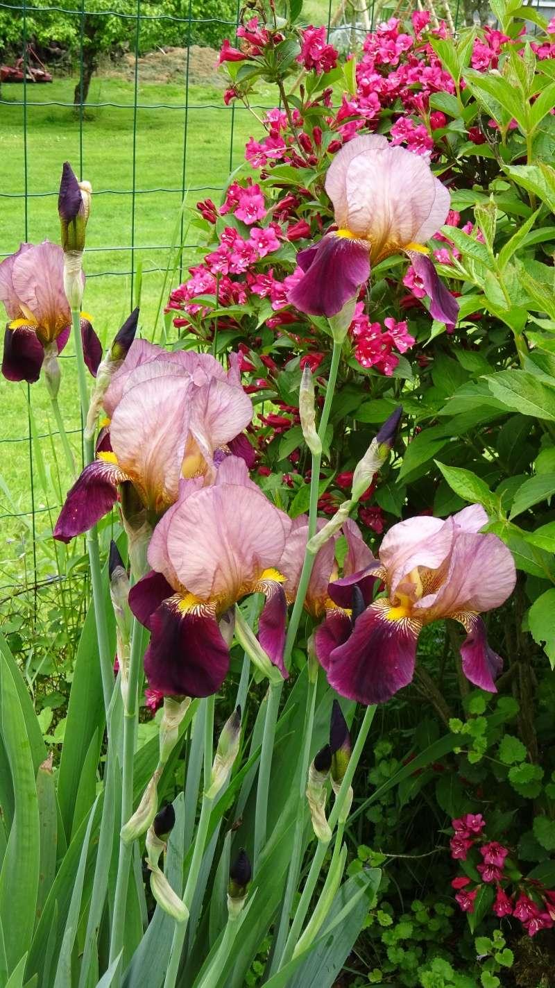 Mes iris 2016 en fleurs  !! Dsc02913