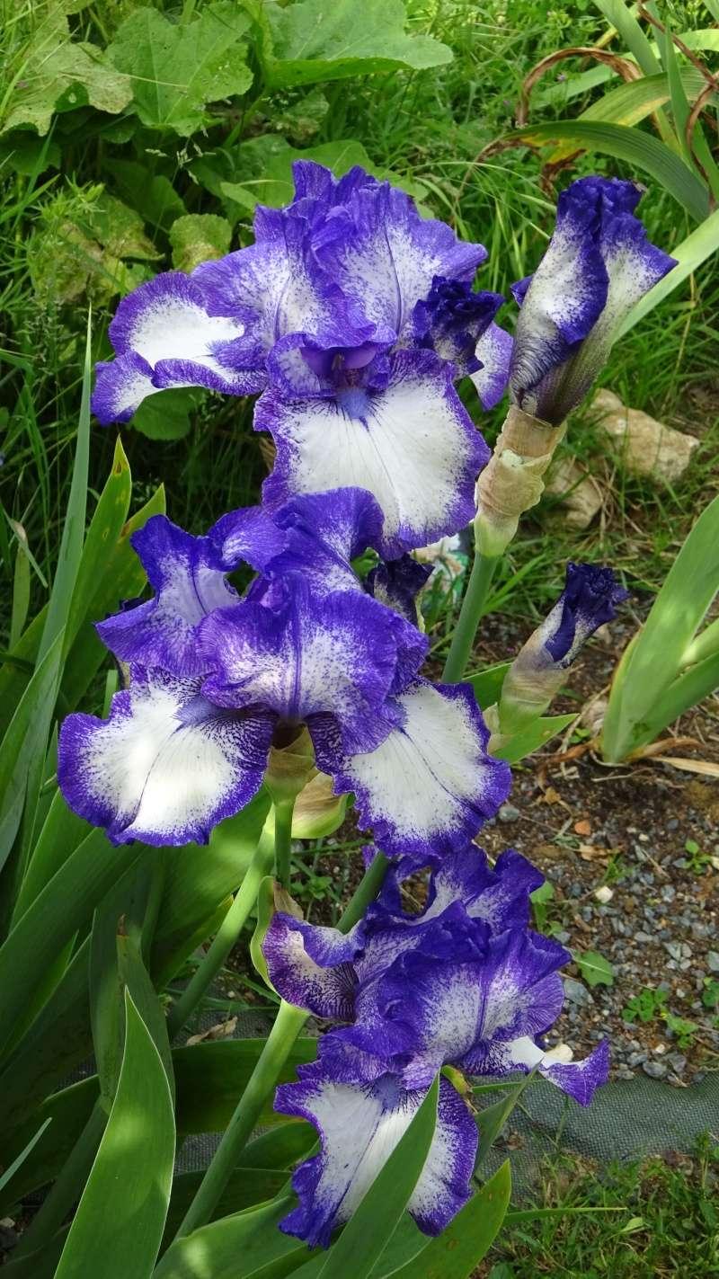 Mes iris 2016 en fleurs  !! Dsc03011
