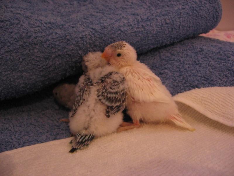 Voici mes ti poulets!! devenus grands Img_0044