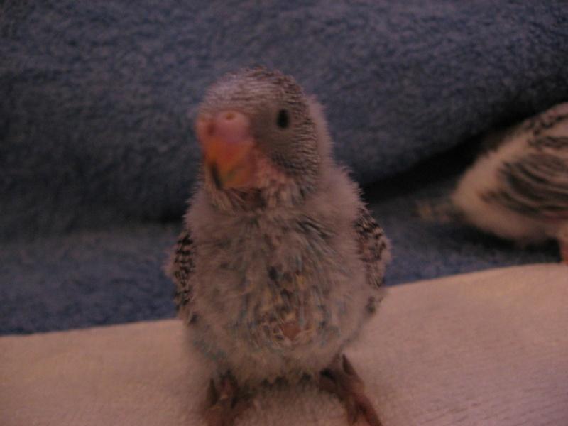 Voici mes ti poulets!! devenus grands Img_0045