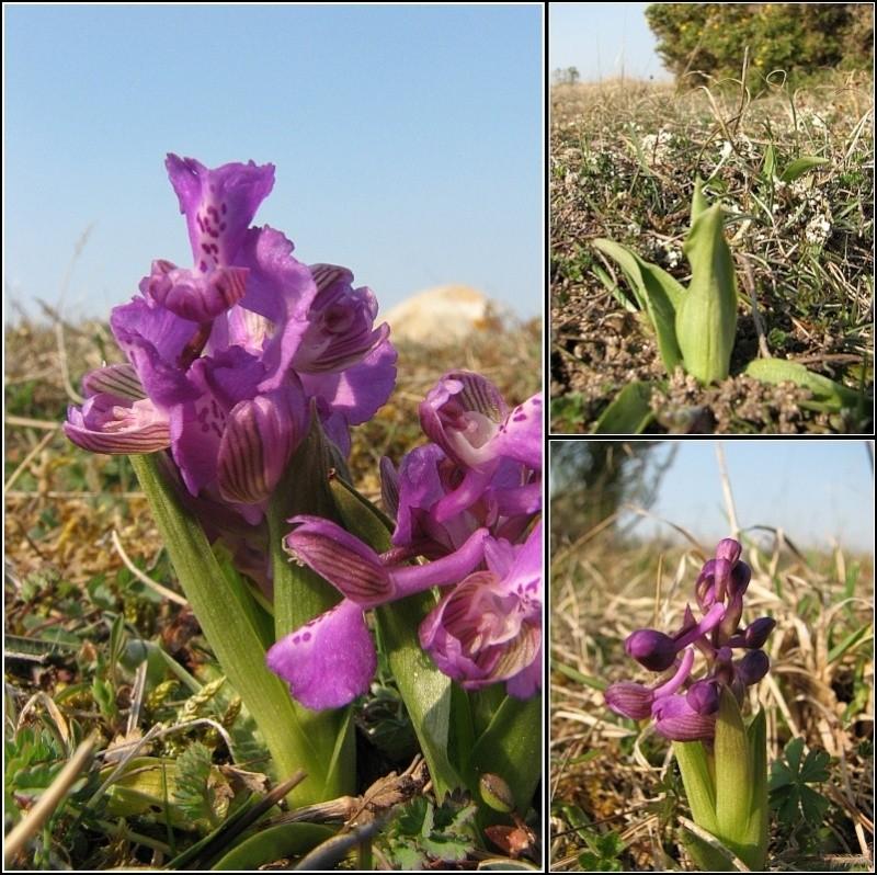 Anacamptis morio ( Orchis bouffon ) A-mori10