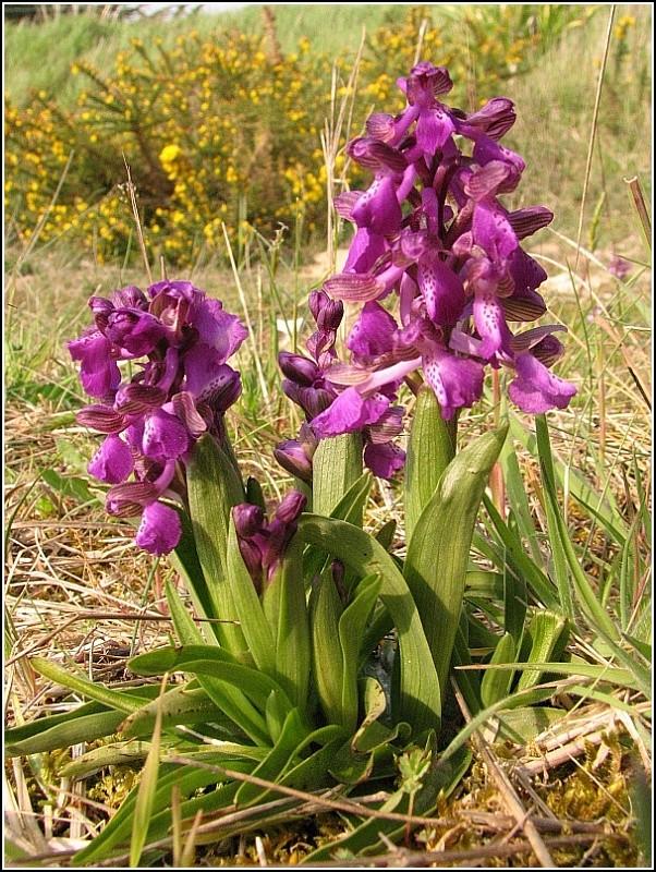 Anacamptis morio ( Orchis bouffon ) Anacam12