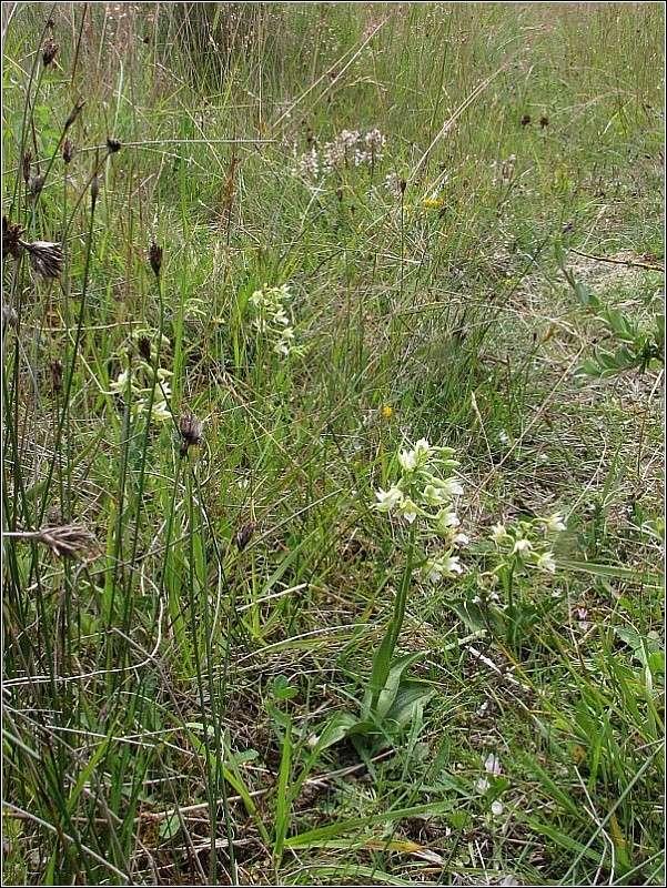 Epipactis palustris ( Epipactis des marais ) Epipac12