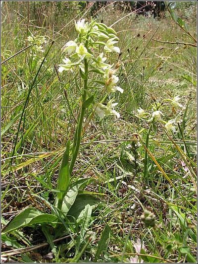 Epipactis palustris ( Epipactis des marais ) Epipac14