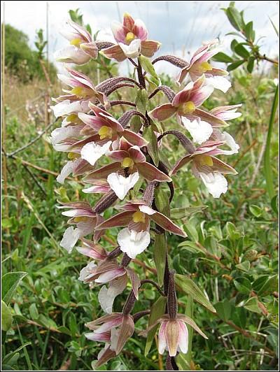 Epipactis palustris ( Epipactis des marais ) Epipac15