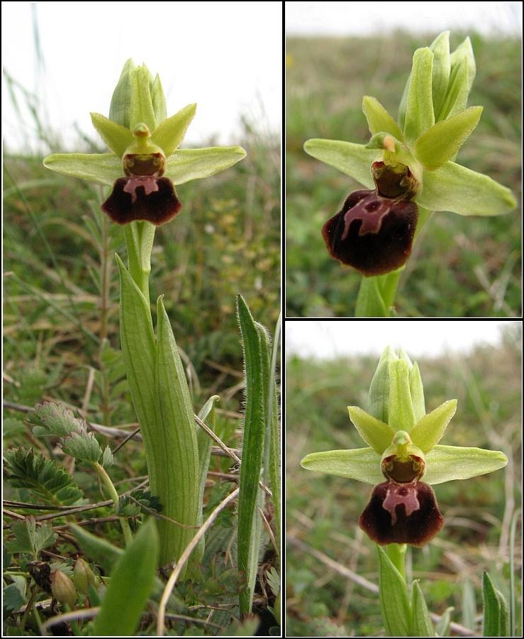 Ophrys aranifera ( = sphegodes , Ophrys araignée ) Op-ara11