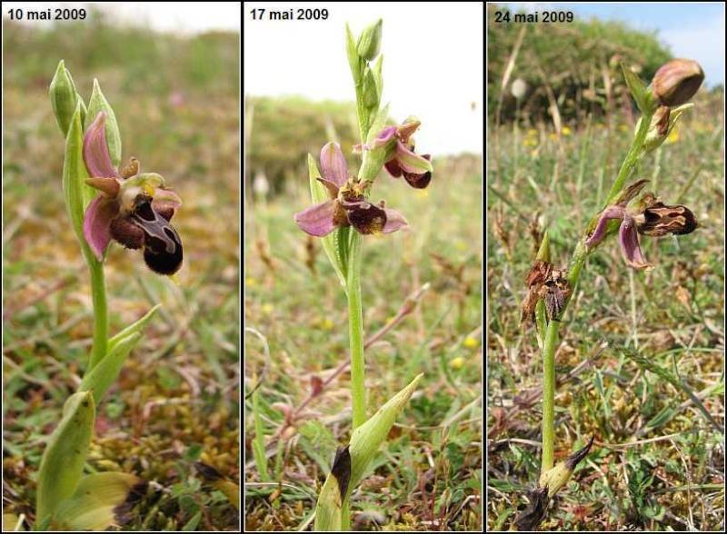 Durée de floraison Ophrys42