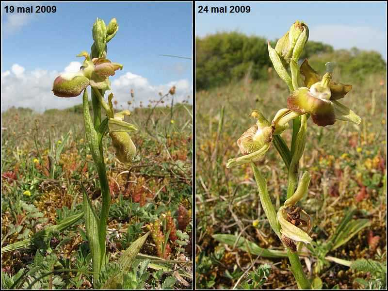 Durée de floraison Ophrys44