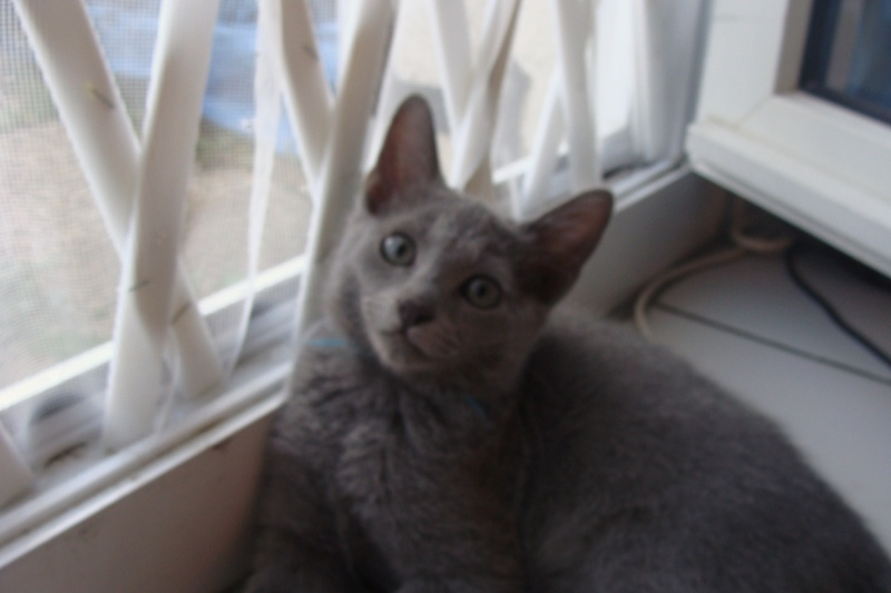 Small Russian Blue Variant is looking for new home Dsc03513